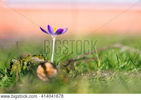 A Portrait Of A Purple Crocus Or Crocus Vernus Flower Standing In Between The Grass Of A Lawn In A G