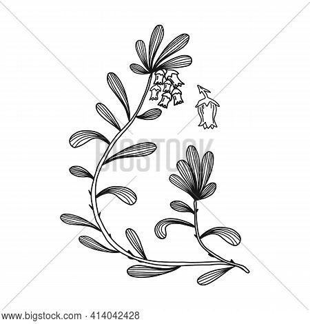 Bear Berry Plant With Leaf, Isolated On White Drawing, Vector Illustration. Medical Plant Line Sketc
