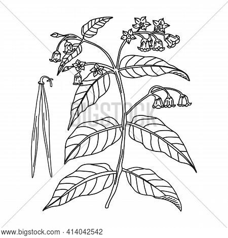 Bitter Dogsbane Line Hand Drawing Plant, Vector Illustration. Botanical Medicine Apocynum Radix, Iso