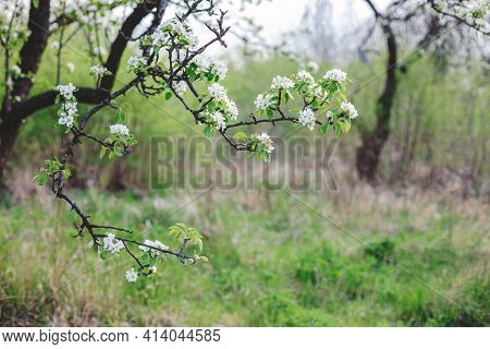 Branch Of A Blossoming Tree In A Spring Garden. Spring Blossom. Selective Focus.