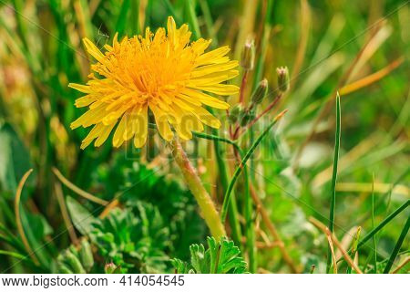 Common Dandelions In A Meadow. Yellow Bloom In Spring In Detail. Green Grass In The Sunshine With Me