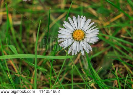 Daisies In A Meadow. White Flowers In Sunshine With Yellow Pollen And Pistils. Individual Blades Of