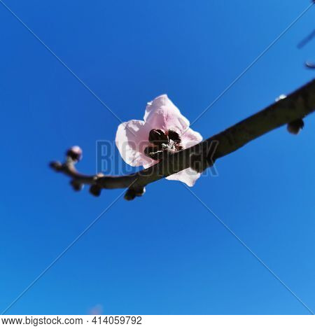 Pink Peach Flowers With Pronounced Stamens On Tree Branches In The Sunshine Against A Blue Sky In Sp