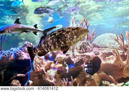 Saltwater Fish Named Of Pacific Goliath Grouper Behind Glass Of  Marine Aquarium In St. Petersburg,