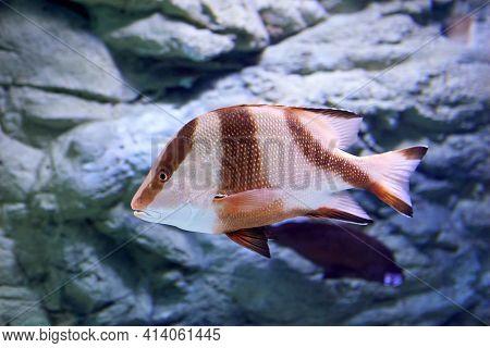 Lutjanus Sebae, Emperor Red Snapper, Is Species Of Snapper Native To Indian Ocean And Western Pacifi