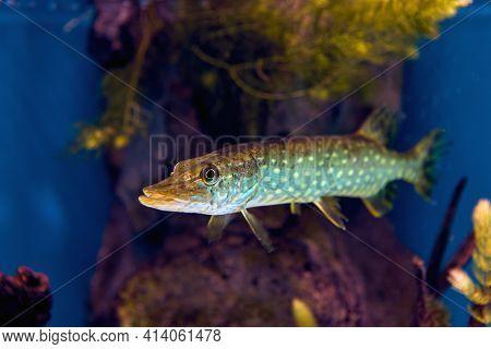 Northern Pike Is  Species Of Carnivorous Fish Of Genus Esox.