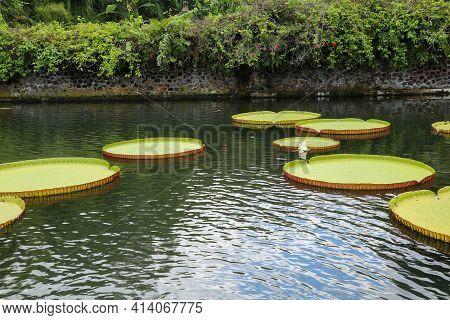 Selective Focus Of Big Lotus Tray, Big Leaf. Many Giant Victoria Flowers, Huge Lotus Leaves Blooming