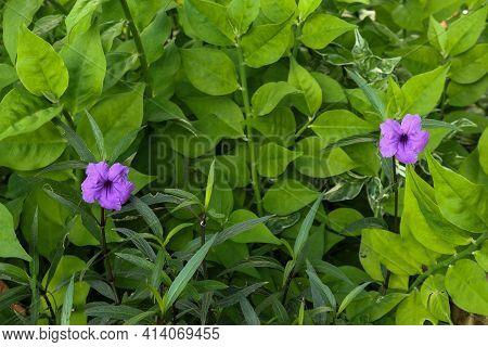 Ruellia Simplex Also Known As Britton's Wild Petunia Or Mexican Petunia Or Mexican Bluebell