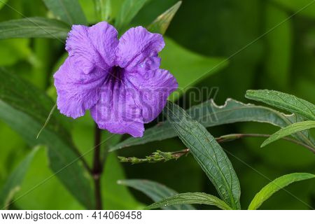 Close Up Beautiful Purple Mexican Petunia With Selective Focus. Macro Of Mexican Petunias Ruellia Si
