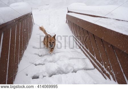 Mixed Breed Brown Dog Running Up Snow Covered Stairs To Home At Full Speed During Snow Storm