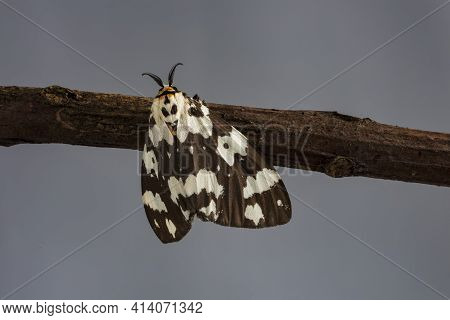 Large Speckled Moth Found In Thailand Resting On Mango Tree With Large Antenna