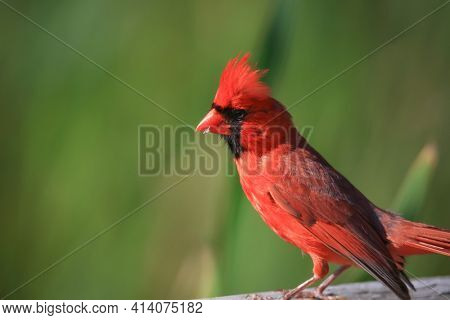 Close up shot of Male Cardinal bird