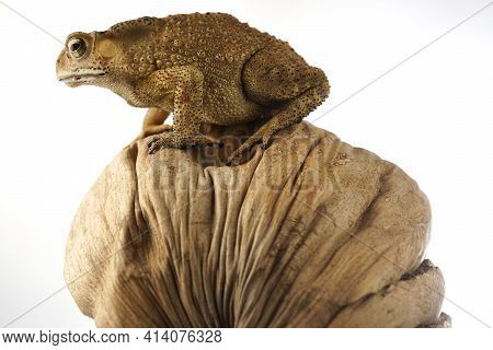 Cane Toad Asia On Dry Coconut Husk With White Background. Asian Common Toads.