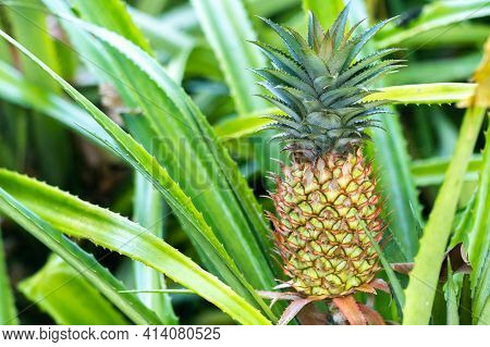 The Pineapple On The Clump Has Pink Eyes. Pineapple Trees Grow Tropical Fruit In The Pineapple Plant