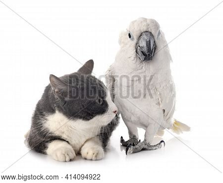 White Cockatoo And Cat In Front Of White Background