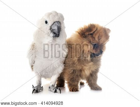 White Cockatoo And Spitz In Front Of White Background