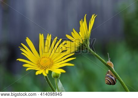 Snail. Close-up Of A Snail Sitting On A Petal Of A Yellow Wild Chamomile. Small Snail On Yellow Cham