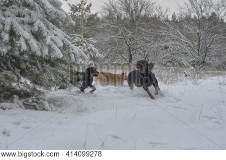 A Group Of Dogs Enthusiastically Play With Each Other In The Snow. Pets Frolic In The Winter Forest.