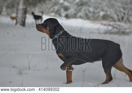Rottweiler Stands In A Winter Forest With Its Front Left Paw Raised. A Young Female With A Docked Ta