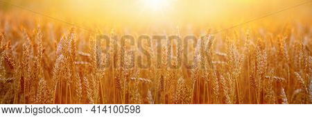 Banner. Wheat Field With Spikelets At Sunset In Golden Tones. Texture Of Wheat Ears. Wheat Harvest