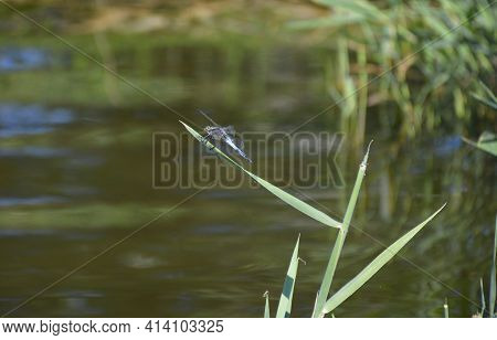 A Large Dragonfly Resting On A Reed Leaf On The Shore Of The Lake, Behind A Dragonfly Blurred Water