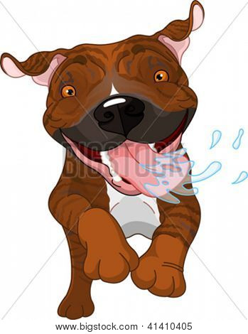 Excited brindle Pit Bull Dog Running And Drooling