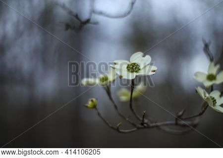 Branch Of Flowering Dogwood White And Green Flower With A Bokeh Background In The Spring