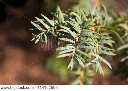 Green Branch Of Juniperus Virginiana Or Virginian Juniper Or Eastern