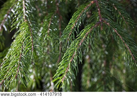 Spruce Branch. Beautiful Branch Of Spruce With Needles. Christmas Tree In Nature. Green Spruce. Natu