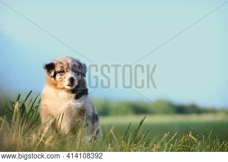 Puppy Dog, Australian Shepherd. Sitting On Green Grass, Image With Wide Blue Sky With Copy Space, Su