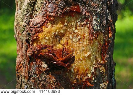 Resin Flows Down The Trunk Of The Tree. Used In Medicine And Cosmetology