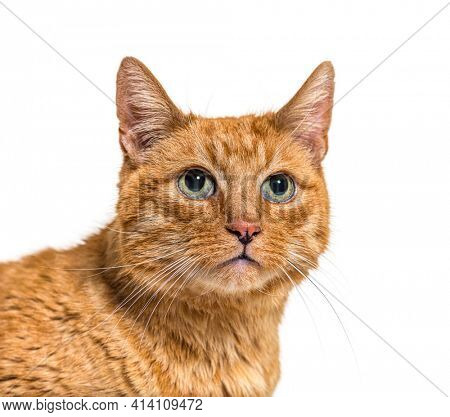 Close-up on a very old ginger cat with lentigo on noise and lips