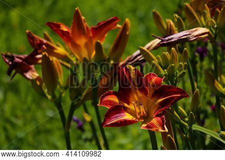 Beautiful Blooming Lily In The Garden On A Spring Day