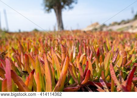 Horizontal View Of A Field Of Red Green And Yellow Carpobrotus Edulis From Succulent Family Also Kno