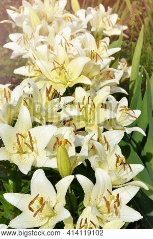 Unfocused Background With Beautiful Yellow Lilies In Water Drops. Selective Focus