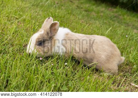 Cute Brown Rabbit On A Green Grassy Meadow With Flowers