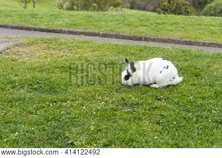 White Rabbit Eating On Green Grass. Copy Space