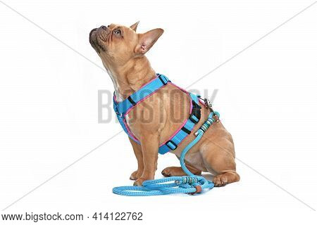 Side View Of Red Fawn French Bulldog Dog Wearing Teal Harness With Rope Leash Isolated On White Back
