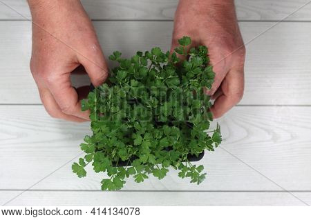 Horticulture Seedlings Of Common Parsley Horticulture Seedlings Of Common Parsley
