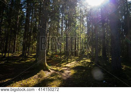 Sunny Old Forest With Tree Trunks And Stamps In Spring Sun Shines Through Tree Needles, Moss-covered