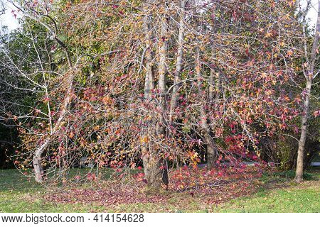 A Beautiful Japanese Red Maple Tree On A Sunny Autumn Day. Maple Leaves Fell To The Ground Around Th