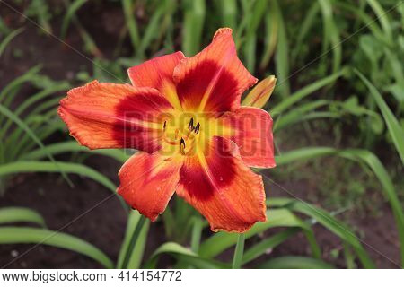 Carnival In Caracas. Luxury Flower Daylily In The Garden Close-up. The Daylily Is A Flowering Plant.