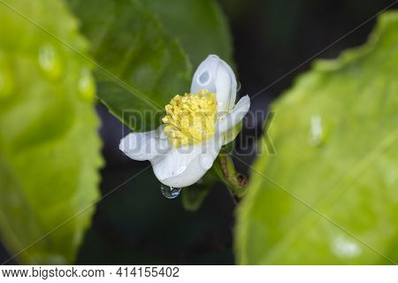 In The Raindrops Flower Of Tea Plant Camellia Sinensis White Flower On A Branch, Chinese Tea Bush Bl