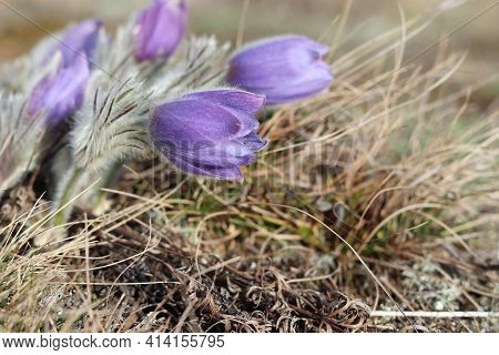 Pulsatilla Is The Most Beautiful Spring Flower. Pulsatilla Blooms In Early Spring In The Forest On A