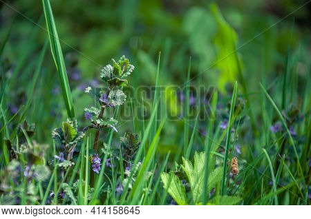 Spring Or Sommer Meadow With Grass And Wild Sage