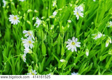Floral Garden. White Flowers On A Background Of Bright Green Leaves. Alpine Mouse-ear Or Alpine Chic