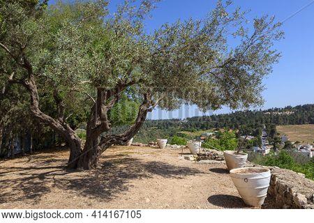 Olive tree in the garden Mediterranean region