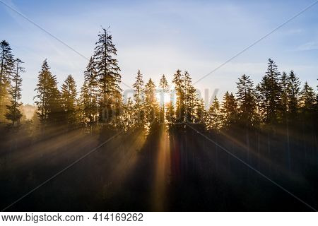 Dark Green Pine Trees In Moody Spruce Forest With Sunrise Light Rays Shining Through Branches In Fog