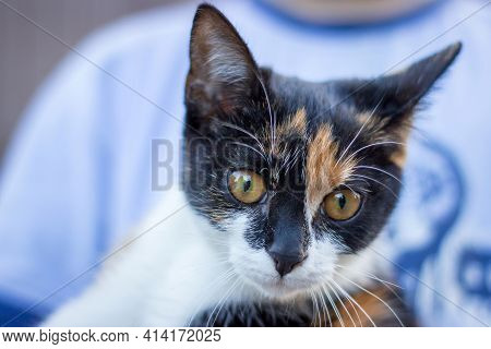 Portrait Of A Calico Kitten In Someones Hands