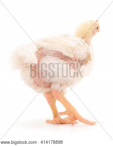 Сhicken Or Young Broiler Chickens On Isolated White Background.